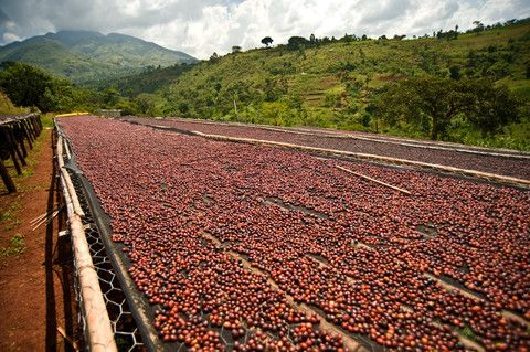 proses pengeringan kopi tanpa pengupasan kulit kopi