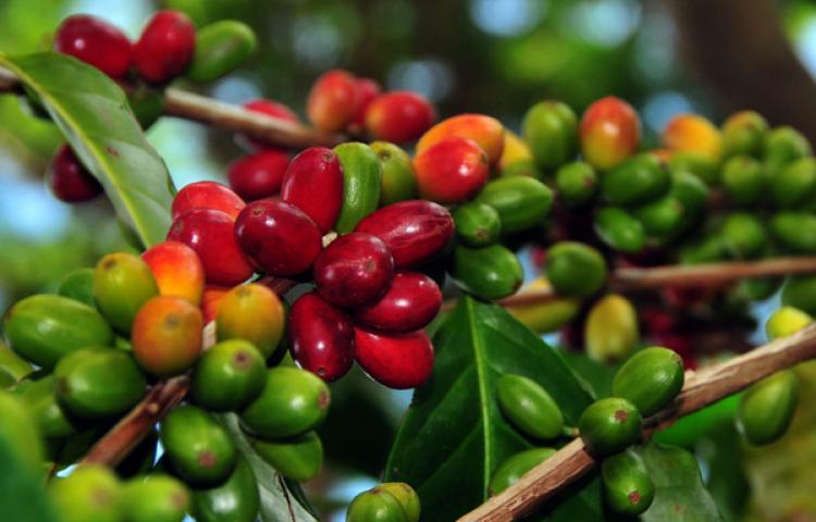 Ketinggian tanam kopi menjadi salah satu faktor penting yang mempengaruhi kualitas rasa pada kopi.